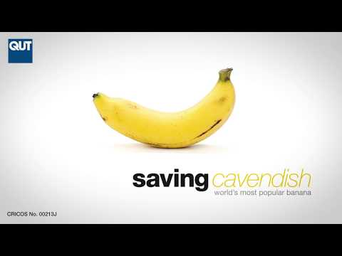 World-first Panama disease-resistant Cavendish bananas