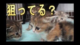 【猫好き】狙ってる?(マンチカン)《funny cats》