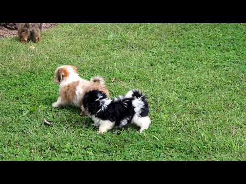 Havanese Puppies For Sale