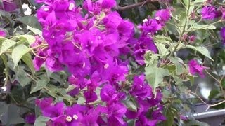 How to Transplant Bougainvillea Flowers : Gardening Advice