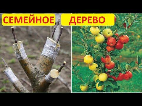 Вопрос: Какие способы создания чудо деревьев с разными плодами на одном дереве?