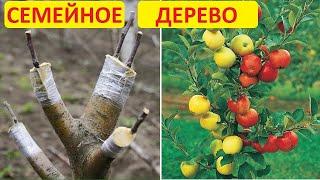 Как привить несколько сортов на одном дереве. Семейное дерево