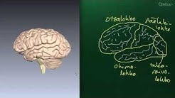 Aivot
