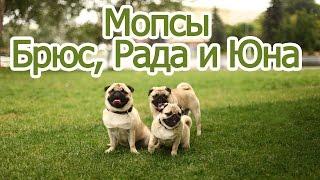 Мопсики Рада, Брюс и Юна