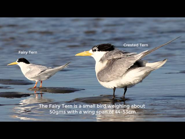 Conservation of the Threatened Fairy Tern