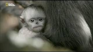 Загадочные обезьяны Шангри-Ла [Nat Geo Wild]