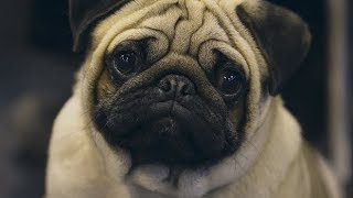 The dark side of the designer dog trend thumbnail