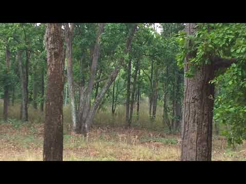 Deer Alarm call on noticing tiger movement
