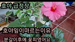 #덴마크무궁화 키우기 #물주기 #관리방법 #호야 잎이마…
