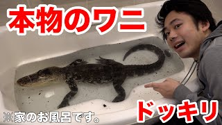[Prank] I welcomed a real alligator into my home's bathroom.