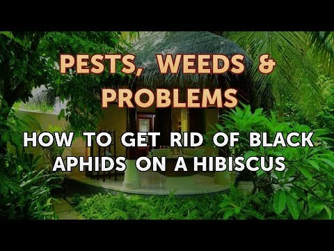 How To Get Rid Of Black Aphids On A Hibiscus Youtube