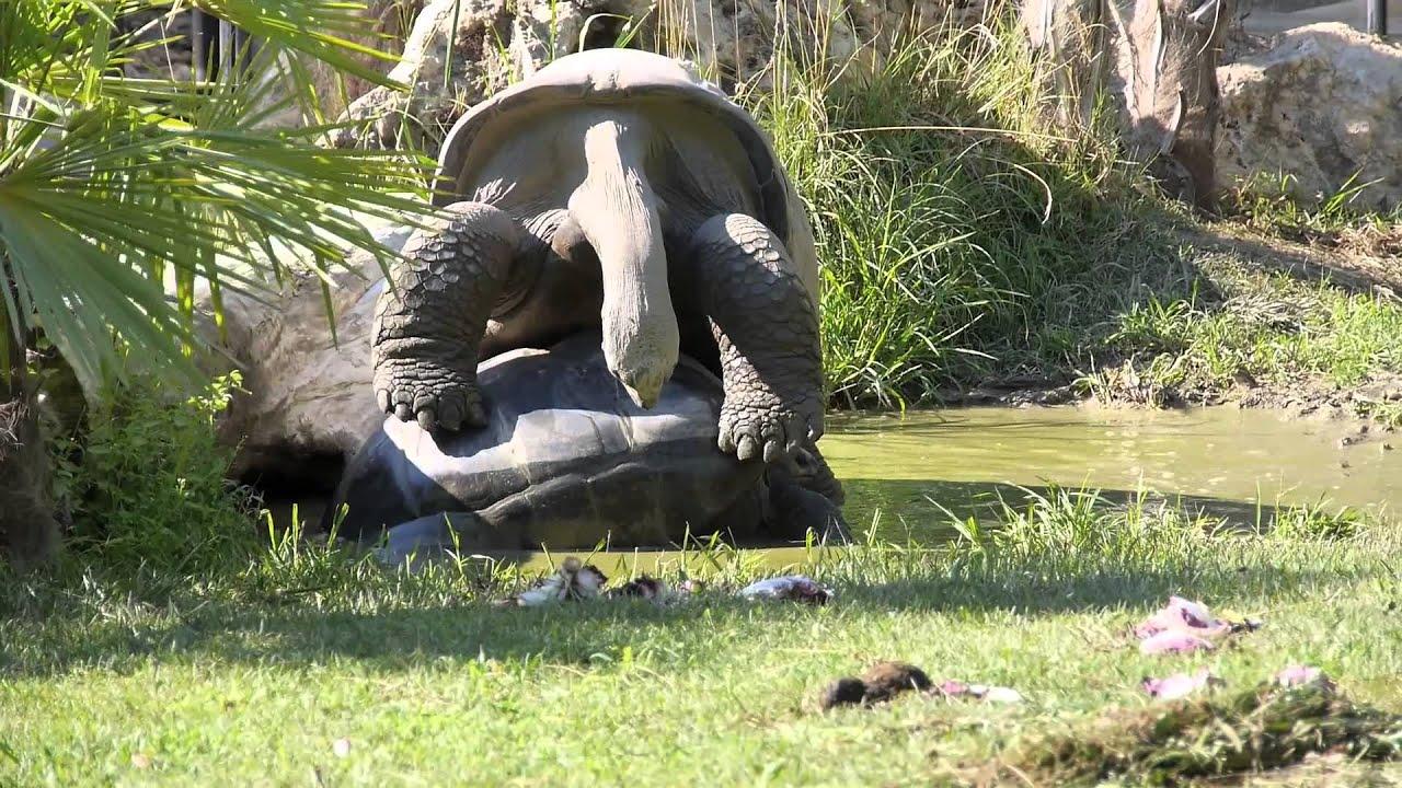 Tartarughe giganti delle seychelles fanno all 39 amore 13 08 for Tartarughe in amore
