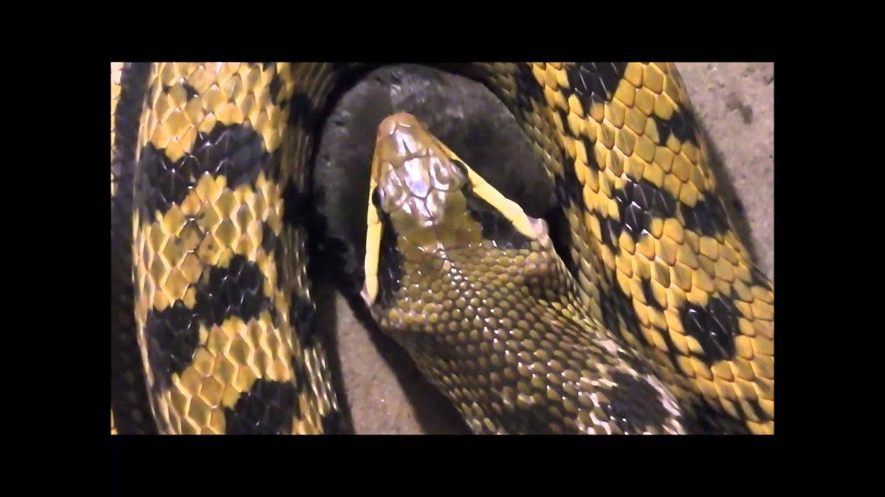 snake eats big mole schlange fri t gro en maulwurf youtube. Black Bedroom Furniture Sets. Home Design Ideas