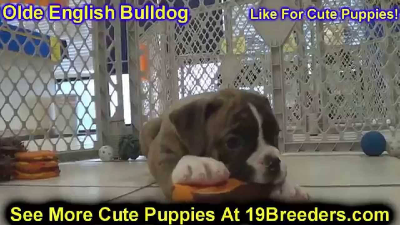 Olde English Bulldog Puppies For Sale In Cedar Rapids Iowa Ia