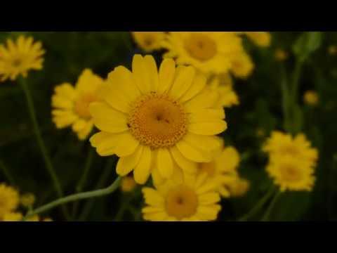 Пупавка красильная (желтая ромашка) Травосбор июль 2017 г