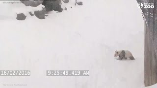 Repeat youtube video Giant panda plays in the snow at the Toronto Zoo