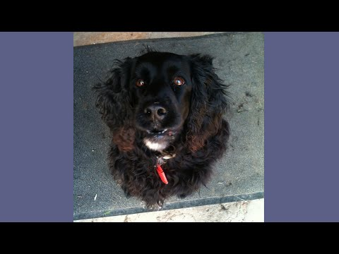 Journey of Lila the Field Spaniel