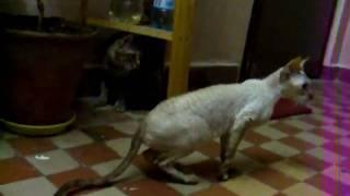 Соседская кошка пришла в гости.AVI