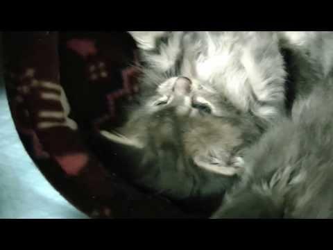 オノクーンの幸せを呼ぶ子猫! アイリーンとエリカ、猫ベッドが大好き!