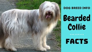 Bearded Collie dog breed. All breed characteristics and facts about Bearded Collie