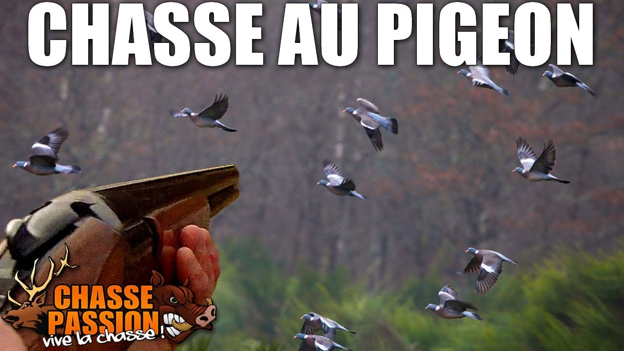 chasse aux pigeons ramiers 2014 chasse passion youtube. Black Bedroom Furniture Sets. Home Design Ideas