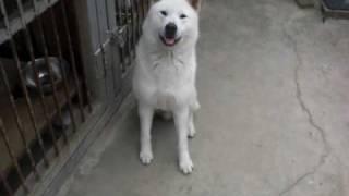 紀州犬のイチです(#^.^#) まだ1歳のやんちゃなイチ♪ おすわり?すわれ?...