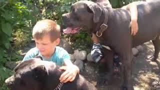 Кане Корсо и дети