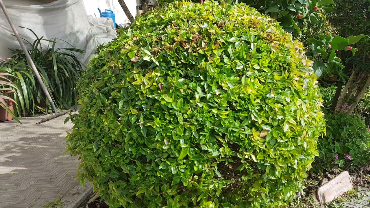 Come Potare A Palla 🌳 ecco come fare una siepe a sfera 🇬🇧 make a sphere hedge 🌳