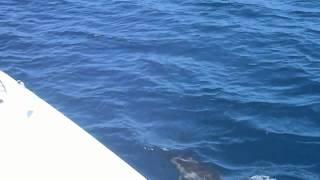 Malihini catamaran with dolphins, Hanalei, Kauai