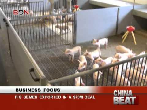 Pig semen exported in a $73m deal - China Beat - Dec 06 ,2013 - BONTV China