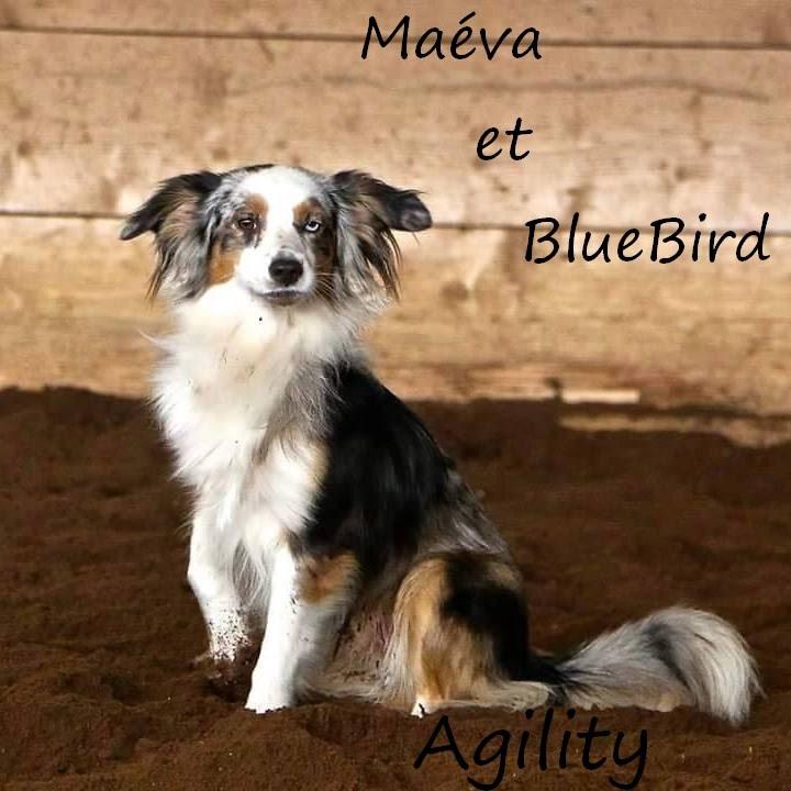 ~ Maeva et Bluebird ~ Berger australien miniature
