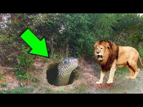 LİON vs BİG SNAKE Real Fight Grizzly Bear Wolf Gorilla ...