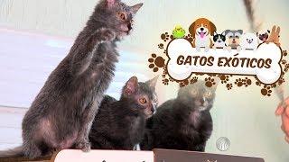 Conheça os gatos de raças exóticas