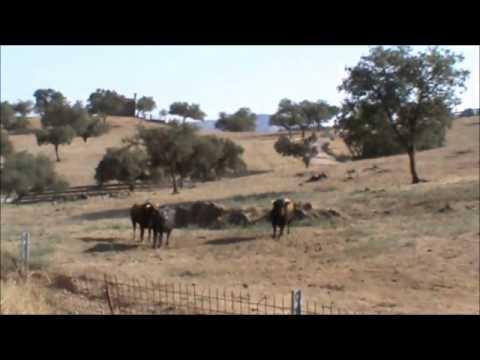 Toro Cebú Vs Toro San Martinero Pelea Llano Colombi