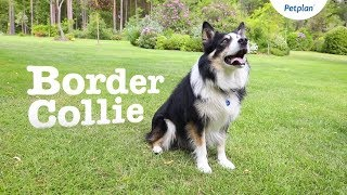 Border Collie Dog Breed Lifespan, Temperament & more | Petplan