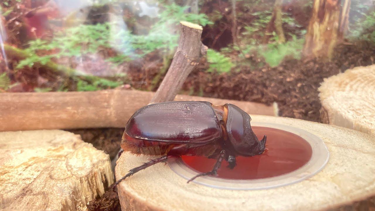 【衝撃】伝説のカブト虫が家のベランダでひっくり返ってた!
