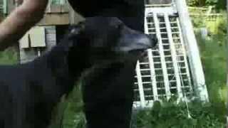 Dogs 101  Greyhound