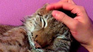 Мурлыканье (урчание) большой кошки