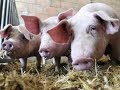 Piggies for Prosperity (revised)