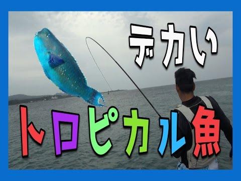 光り輝く魚イラブチャーを釣り上げろ 【アオブダイ】