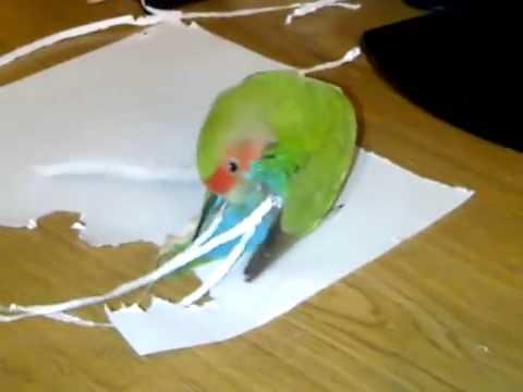 Почему попугай выдергивает себе перья?