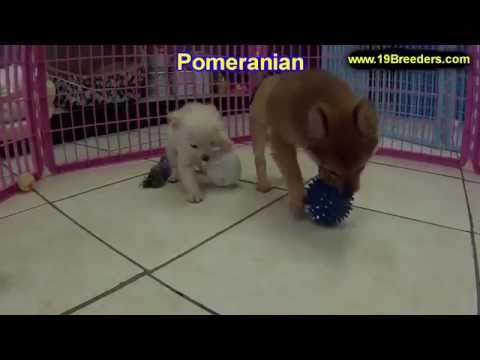 Pomeranian, Puppies, Dogs, For Sale, In Huntington, County, West Virginia, WV, 19Breeders