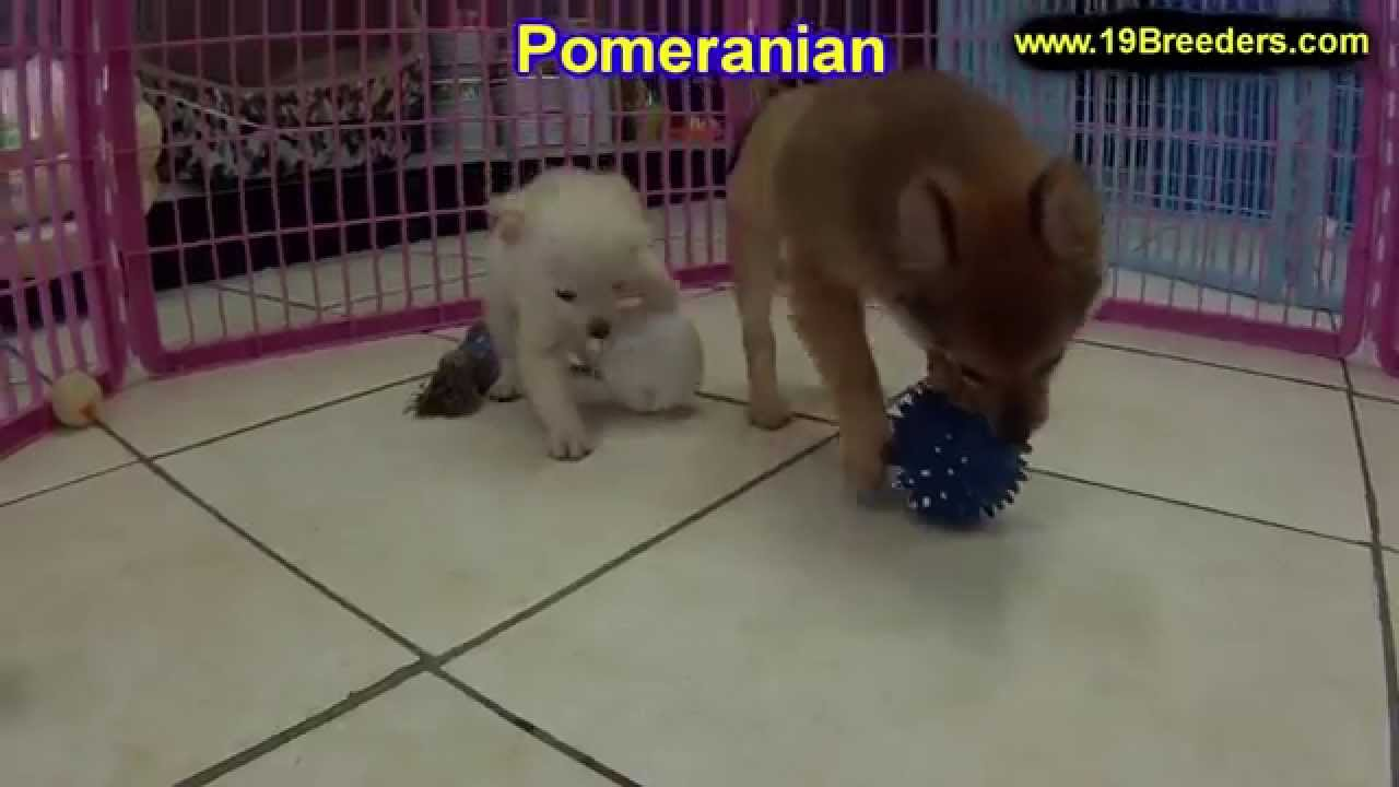 pomeranian breeders va pomeranian puppies dogs for sale in huntington county 4700