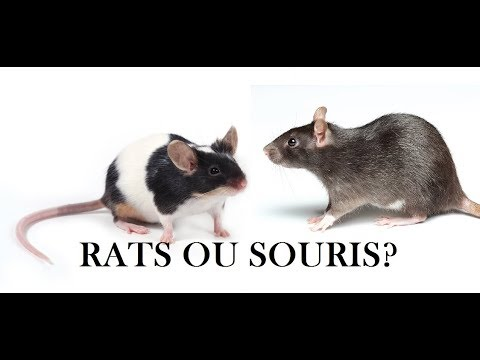 rats ou souris que choisir youtube. Black Bedroom Furniture Sets. Home Design Ideas