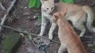 briga de gato incrivel