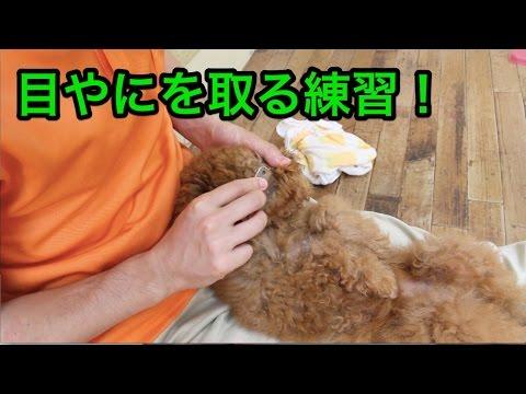 目やにを取る練習!〜犬のしつけは大阪のsmart-dog〜
