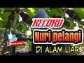 Rekam Burung Perkici Pelangi Di Alam  Mp3 - Mp4 Download