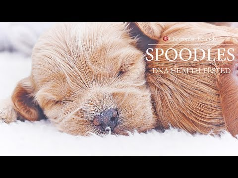 Spoodles