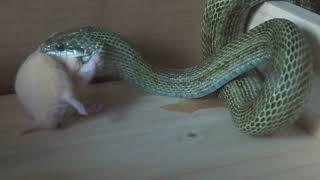 ペットのヘビに生餌ハムスターを給餌する動画です。ハムスターが好きな...
