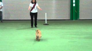 Cairn Terrier Obreedience Audition 2014   Orwell